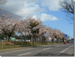 赤松街道の桜並木S