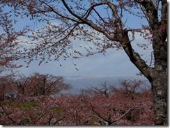 五稜郭公園サクラ(1)