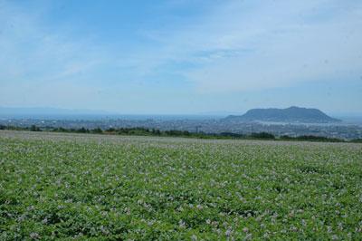 ジャガイモのお花畑